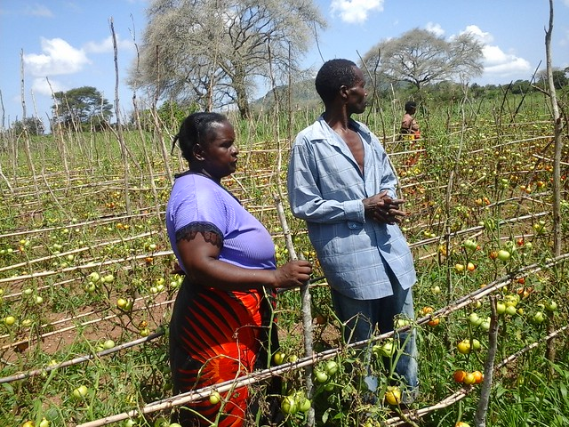 Farmer Hamalengo and wives in his damaged tomato field