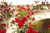 Red Roses :rose: