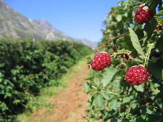 Berries in Swellendam