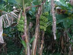 St. Lucia (Karibik) - Bananenpflanze