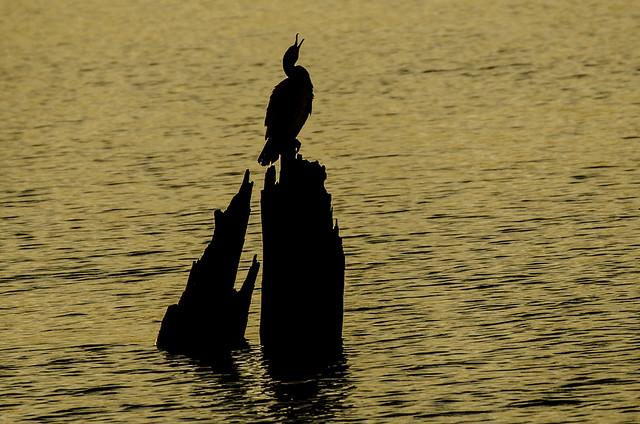 Screaming cormorant in sunset
