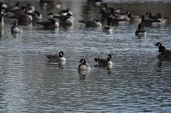 Cackling Goose, Virginia