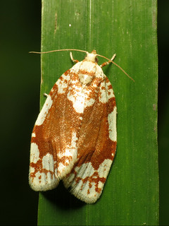 White-spotted Leafroller Moth
