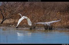 Blue Heron chasing off White Egret - EE=1 dot sight