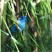 Passerin indigo et vulpin des prés [Alopecurus pratensis] | Parc Michel-Chartrand | Longueuil