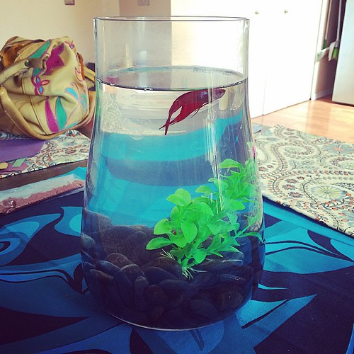 """I rescued this sad Betta fish from work. I've rescued a Betta before, and Seymour lived a long time, so I think of myself as the """"Betta Whisperer"""". I named this guy Angus. I just ordered him a """"hammock"""" shaped like a leaf and I'm excited about it!"""