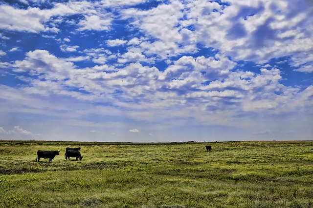 Western Oklahoma Cowscape  Adjust