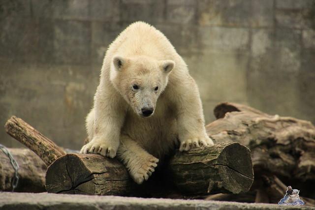 Eisbär Fiete im Zoo Rostock 12.07.2015 0294