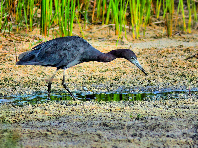 Little Blue Heron hunting HDR 20150729