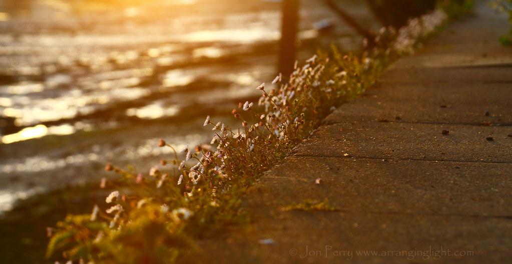 _C0A9801REW Little Flowers Late Evening, Jon Perry - Enlightenshade, 16-5-15 zam