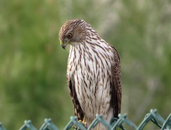 Cooper's Hawk, Wilmington, CA