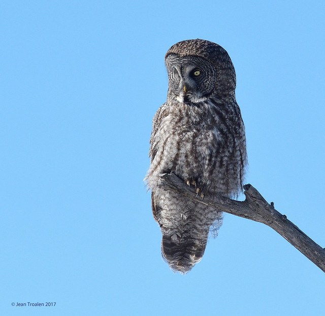 Chouette lapone  ♂ / Great Gray Owl