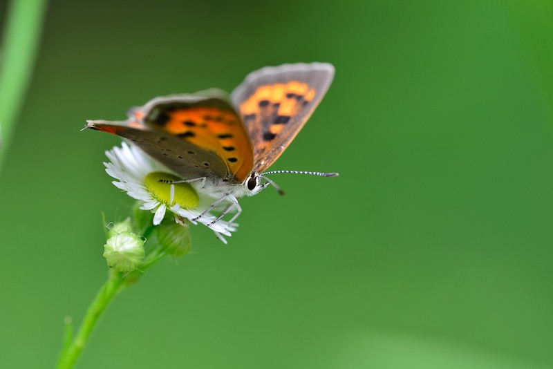Lycaena phlaeas / Small copper
