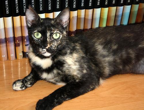 FALLECIDA- Mandala, preciosa gatita carey dulcísima de ojos verdes esterilizada, nacida en Julio´14, en adopción. Valencia. 18969722570_4266b071b7