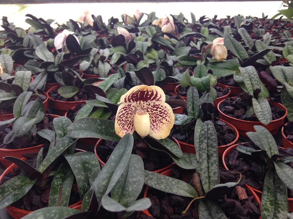 Orchidarium de Prangins 19301341472_cf01c4263b_b