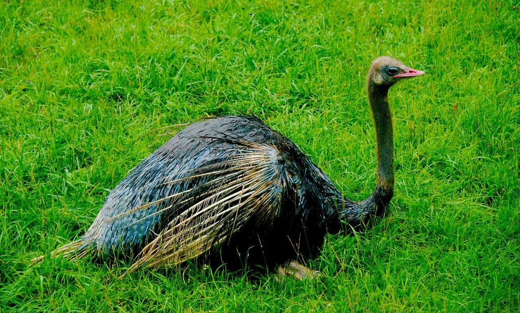 Ostrich (Struthio camelus)_2