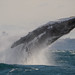 Breaching Humpback whale by Trevor Scouten