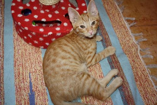 Jerry, gatito rubio guapo muy dulce y bueno, esterilizado, nacido en Abril´15 en adopción. Valencia. ADOPTADO. 19818573449_03cc312283
