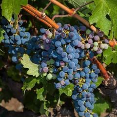 Wine tasting in Napa Valley, Calefornia  #magasinetreiselyst #napa #napavalley #wine #winetasting #tunliweb