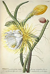 Night blooming Cereus (1754)