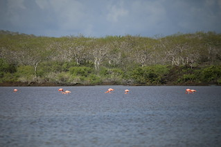 Flamingos at Cormorant Point , Isla Floreana, Galapagos