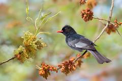 ~  Bunun sacred bird | 布農族聖鳥 ~