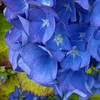 My #hydrangeas turned completely #blue this #summer