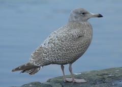 Viking Gull (Glaucous x Herring hybrid)