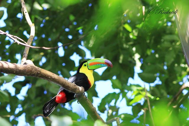 keel-billed toucan / toucan à carène