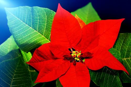 poinsettia christmasstar