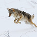 The Coyote Pounce by ken.helal