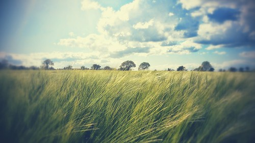 light summer sky plant color colour green nature beautiful beauty field grass barley sunshine landscape golden landscapes photo amazing focus colours view heart natural bright image outdoor farming grain dream grow picture growth land fields crops countrylife pleasent