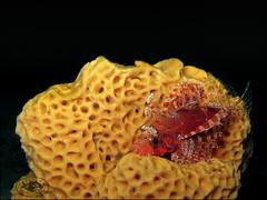 Dwarf Lionfish (Dendrochirus brachypterus)