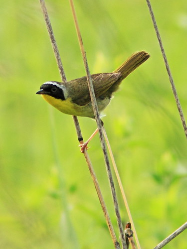 Common Yellowthroat 5-20150703