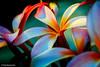 Sunset Plumeria