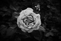 3258 Rose