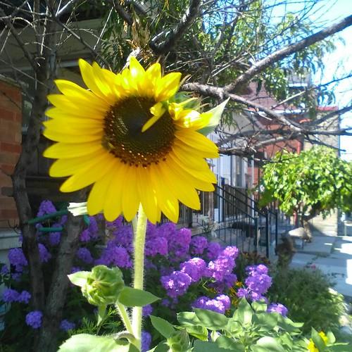 Dupont sunflower #toronto #flowers #dupontstreet #sunflower