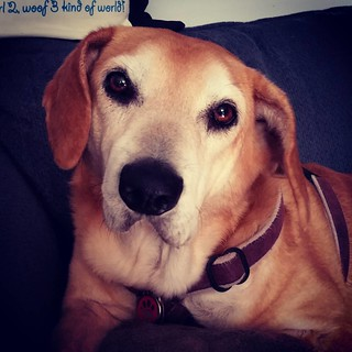 """Do I want breakfast? Well, that's a stupid question..."" - Sophie #dogstragram #instahound #instadog #rescueddogsofinstagram #houndmix #seniordog #ilovemyseniordog #dogsofinstagram #muttstagram #muttsofinstagram #seniorpet #ilovebigmutts #rescuedismyfavor"