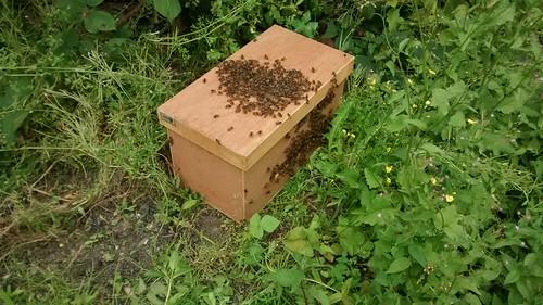 bee swarm July 15 5