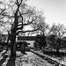 winter oaks silhouettes