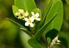 Black Mangrove (Avicennia germinans)
