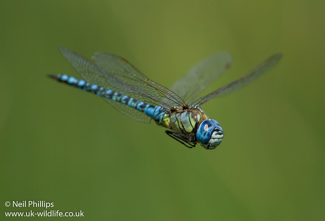 Southern migrant hawker-8