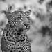 De luipaard (Panthera pardus) by Lambert Reinds