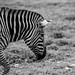 Axe Valley Wildlife Park - Zebra by myfrozenlife