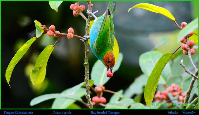 BAY-HEADED TANAGER Tangara gyrola Eating Strangler Fig Fruit in Mindo, ECUADOR. Tanager Photo by Peter Wendelken.