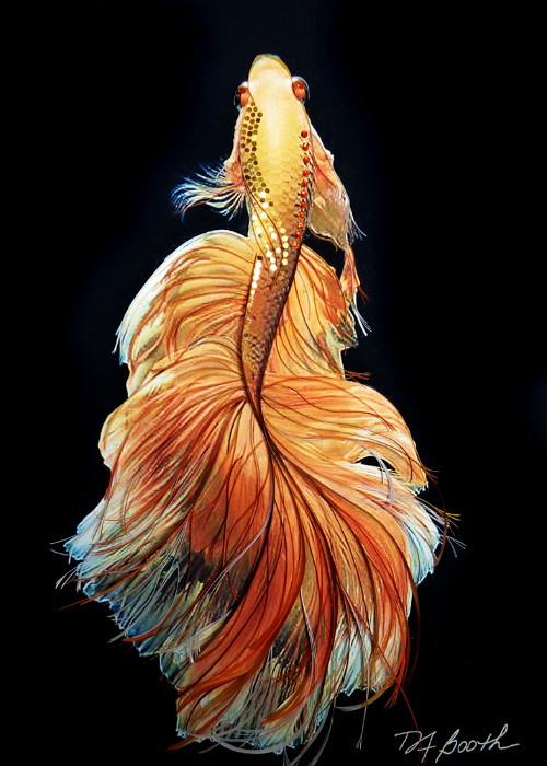 Betta Beauty by Deb Booth