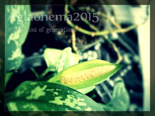 aglaonema2015_eye