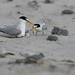Len Medlock has added a photo to the pool:Least Tern (feeding chick)Hampton, NH
