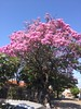 Blooming Tajibos