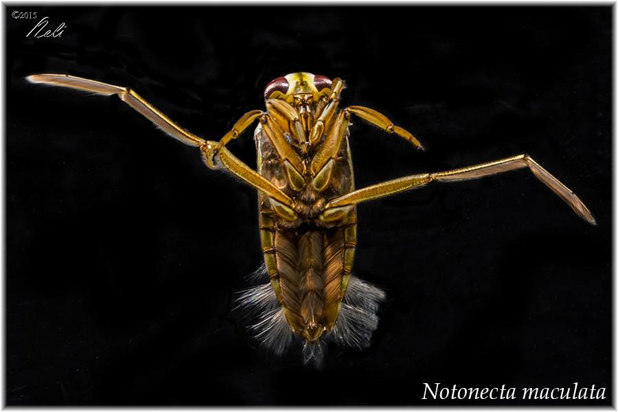Notonecta maculata 19523362623_b86e71a683_b